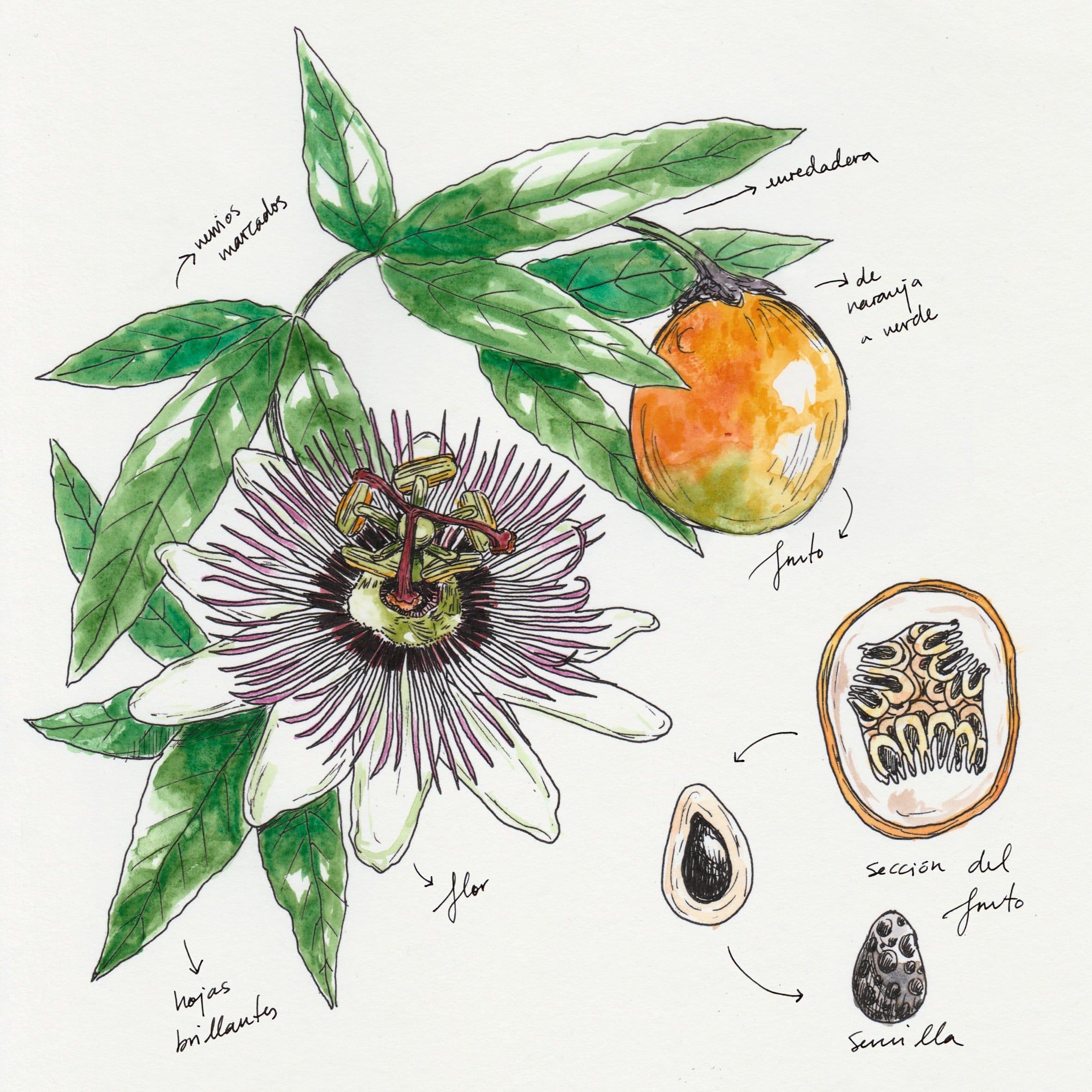 Passiflora edulis, aceite virgen de semillas de Maracuyá
