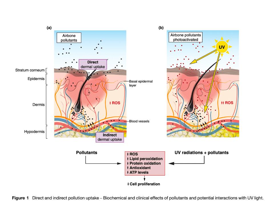Efecto de la polución y la radiación en la piel. Araviiskaia et al.